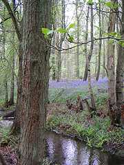 a bluebell wood with a stream