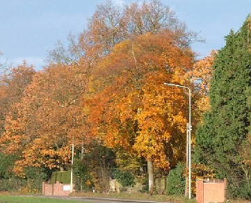 trees with golden leaves