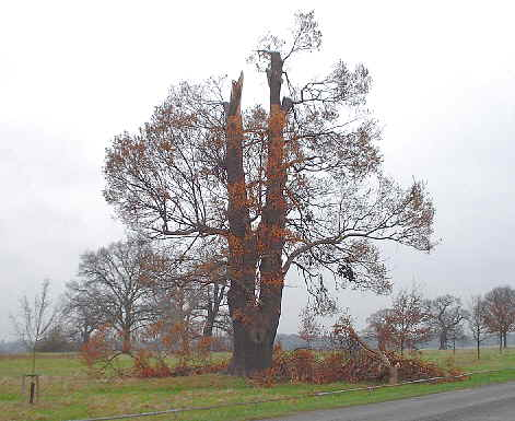 a large oak tree with branches lying at its foot.