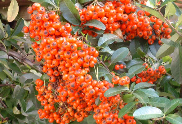 a large cluster of red berries on a green-leaved bush