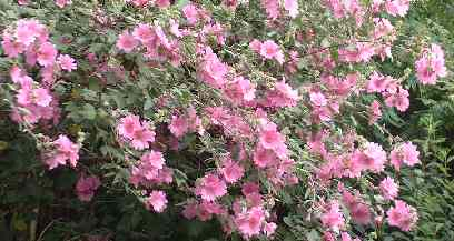 pink laveteria flowers on a green bush