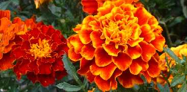 orange French marigold flower