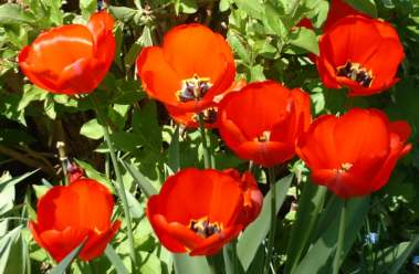 group of 7 red tulips
