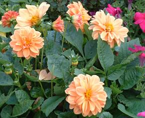 pinky-orange dahlia flowers
