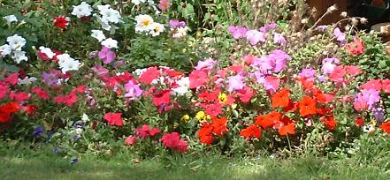 a flower border with petunias of various colours