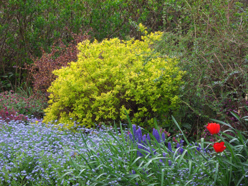 a gold coloured bush surrounded by other vegitation including a mass of blue flowers