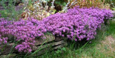 a small bank of purple flowers growing over a low stone wall