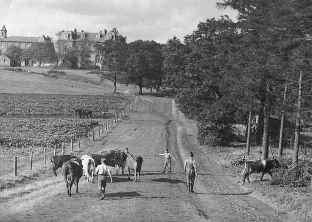 a wide farm track with imposing buildings in the distance and a group of boys attempting to herd some cows