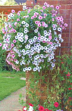 cascading petunias in a hanging basket