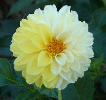a white and yellow dahlia flower