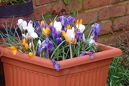 white, yellow and blue crocuses growing in a pot